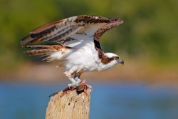 Osprey with fish. Bird of prey Osprey, Pandion haliaetus, feeding on caught fish, Mexico. Wildlife scene from nature. Eagle with dead fish. Animal behaviour near the tropic river.