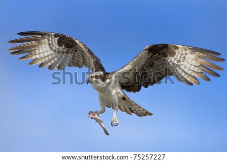 Osprey with prey in flight. Latin name - Pandion haliaetus.