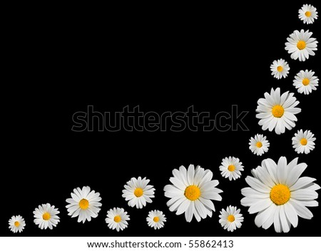 Osteospermum - Arranged Bunch of White Daisies with Yellow Center Isolated on Black Background