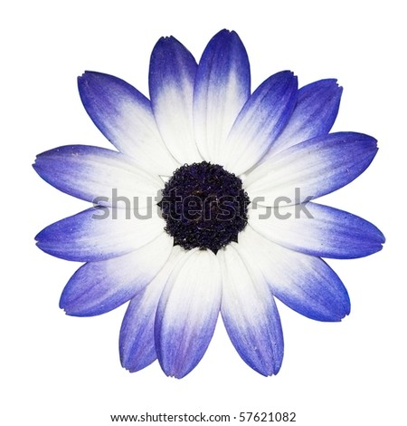 Osteospermum - Beautiful Blue and White Daisy Flower Head isolated on white background. Top view