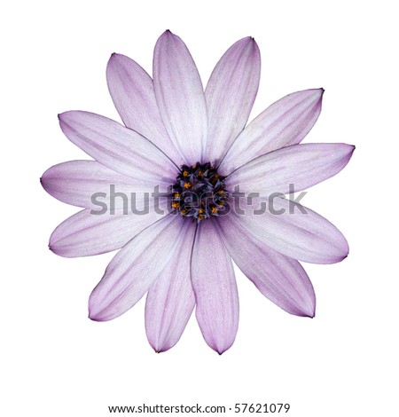 Osteospermum - Beautiful Light Purple Daisy Flower Head top view isolated on white background. Top view