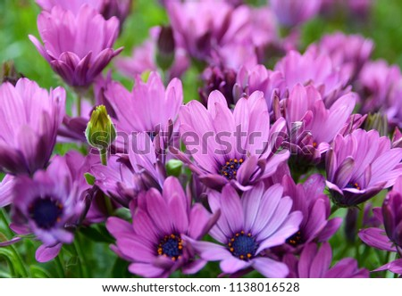 Osteospermum ecklonis (Dimorphotheca, Cape Marguerite,African daisies) flowers in the garden of Tenerife,Canary Islands, Spain.A native plant of South Africa.Floral background.