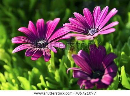 Osteospermum ecklonis flowers (Cape Marguerite flower,Dimorphotheca).Purple daisy flowers growing in the park of Tenerife,Canary Islands,Spain.Floral background.