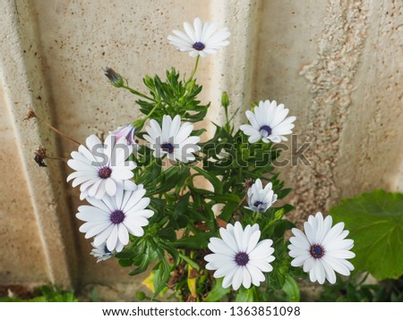 Osteospermum fruticosum, also called African daisy, daisy bush or African moon is a shrubby, semi succulent herbaceous flowering plant. Beautiful white flowers with purple and yellow spots in middle. Stock photo ©