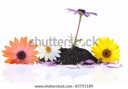 Osteospermum fruticosum isolated. Stock photo ©