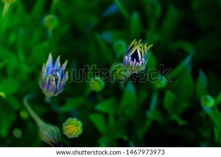 osteospermum light blue flowers with yellow tips closeup with dark green leaves on plant  #1467973973