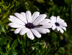 osteospermum white flower withe dark blue center with yellow stamen close up with a bug on the flower dark green back ground of plant