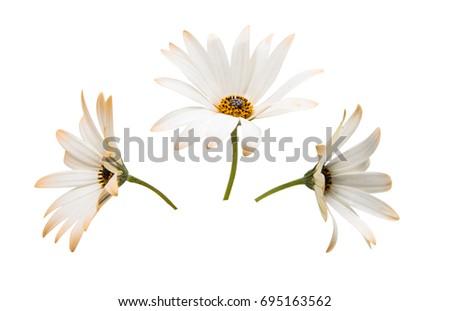 Osteosperumum Flower Daisy Isolated on White Background. Macro Closeup Stock photo ©
