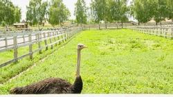 Ostrich, African ostrich, desert king, big birds, farm, hacienda, feathers, travel, vacation, village, ostrich eggs, wild birds, flock of birds, bird world, vacation, tourism
