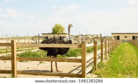 Ostrich, African ostrich, desert king, big birds, farm, hacienda, feathers, travel, vacation, village, ostrich eggs, wild birds, flock of birds, bird world, vacation, tourism #1481383286