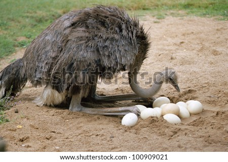 Ostrich and eggs in nest
