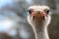 ostrich bird head and neck front portrait in the park