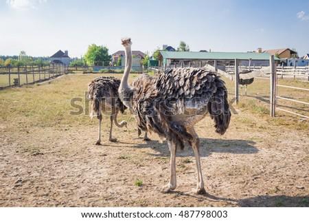 Ostrich birds on ostrich farm countryside #487798003