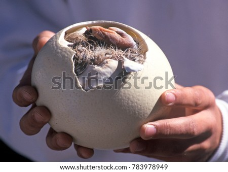 Ostrich chick breaking out of egg at a South African Ostrich farm. - Shutterstock ID 783978949