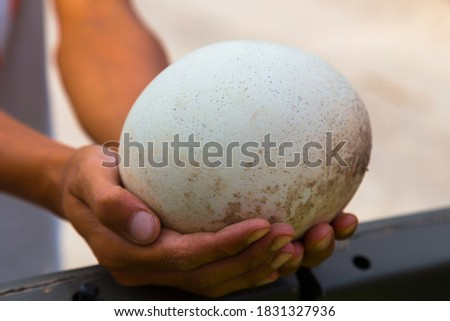 Ostrich egg in man's hands, human keeps big egg in his own arms, male holding large egg on a farm, gently holds close up. Organic fresh egg. Huge white shell of an african ostrich.