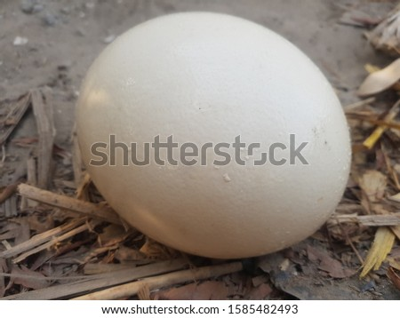 ostrich egg weight 2 Kg Awesome