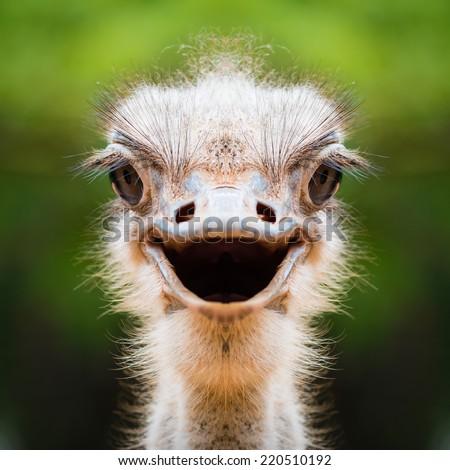 Ostrich face close up #220510192