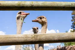 Ostrich farm. Ostriches on an ostrich farm. The ostrich looks over the fence. Animals in captivity. High quality photo