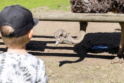 Ostrich farm. The child looks at the ostrich. The ostrich looks over the fence. Animals in captivity. High quality photo