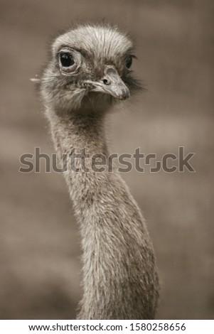 ostrich head, bird head , bird portrait  #1580258656