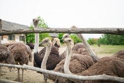 Ostrich head close-up. Head and neck front portrait of an ostrich bird at an ostrich farm. Farmer breeding of ostriches in Ukraine Zakarpattia region