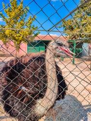 Ostrich head close-up. Head and neck front portrait of an ostrich bird on an ostrich farm. Farmer breeding of ostriches in Konya region