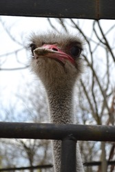 ostrich head close up. portrait of an ostrich. ostrich looks into the lens.