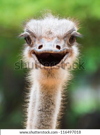 Ostrich head closeup #116497018