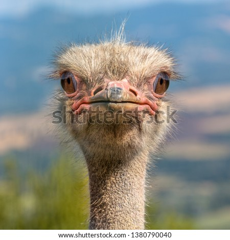 Ostrich Head frontal in Natural Environment. The Ostrich or Common Ostrich (Struthio camelus) is either one or two species of large flightless birds native to Africa #1380790040