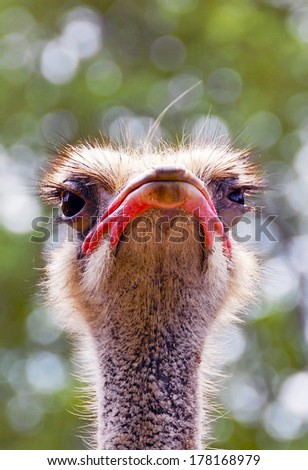 Ostrich head with big open eyes, close up, bokeh background