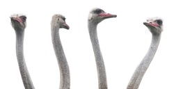 Ostrich heads on the white background