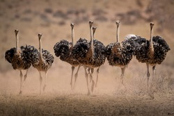 Ostrich Hens are kicking up dust as they try to escape the Cocks during mating season in the Kgalagadi.