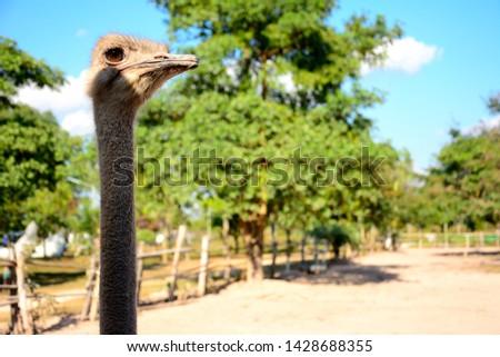 Ostrich in an ostrich farm #1428688355