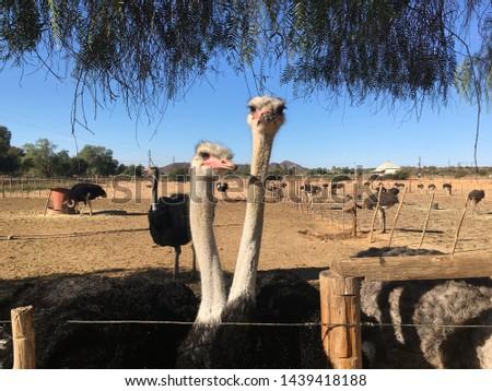 Ostrich in Safari, ostrich farm in Oudtshoorn, South Africa #1439418188