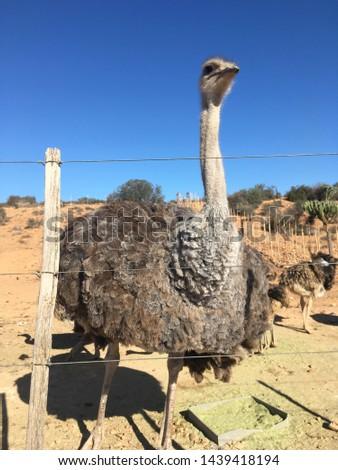 Ostrich in Safari, ostrich farm in Oudtshoorn, South Africa #1439418194