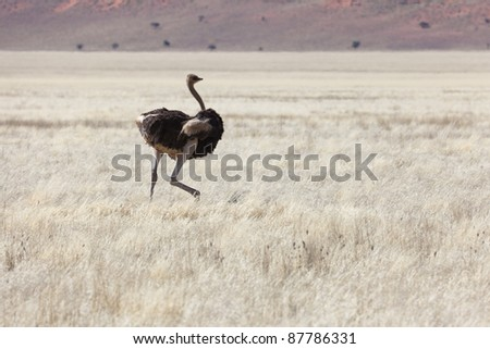Ostrich in the Namibrand Nature Reserve