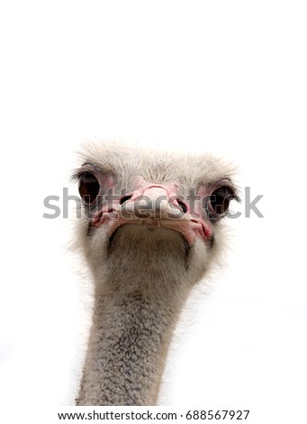 ostrich isolated - Shutterstock ID 688567927