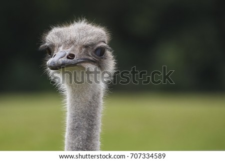 Ostrich isolated #707334589
