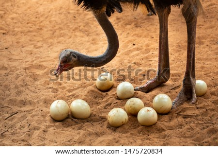 Ostrich mother and ostrich eggs #1475720834