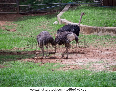 Ostrich mother, Ostrich egg in zoo #1486470758