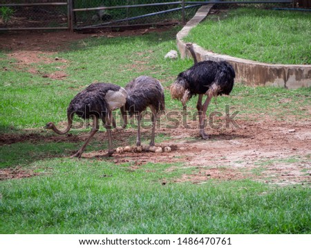 Ostrich mother, Ostrich egg in zoo #1486470761