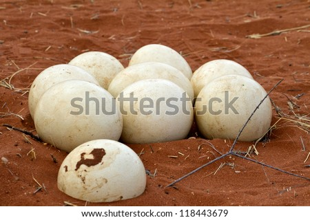 Ostrich nest in Namibia