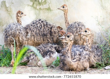 Ostrich offspring are larger than any other bird baby. #772651870