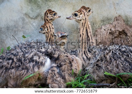 Ostrich offspring are larger than any other bird baby. #772651879