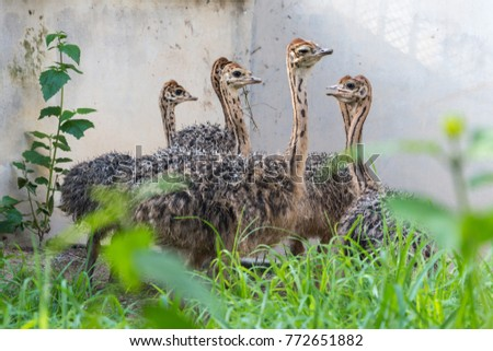 Ostrich offspring are larger than any other bird baby. #772651882