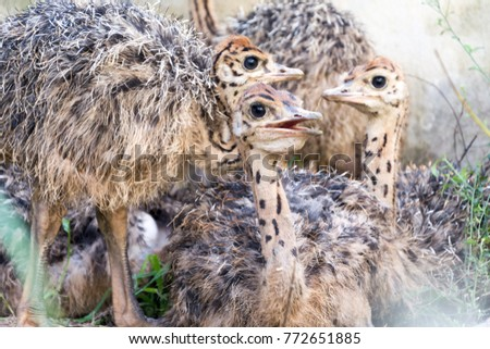 Ostrich offspring are larger than any other bird baby. #772651885