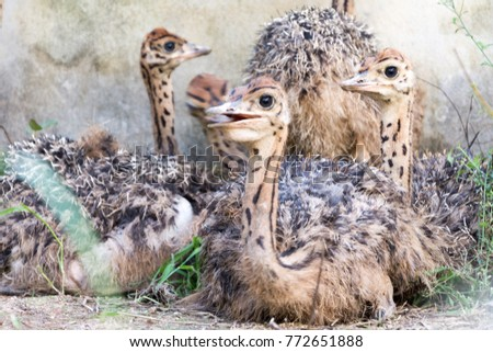Ostrich offspring are larger than any other bird baby. #772651888