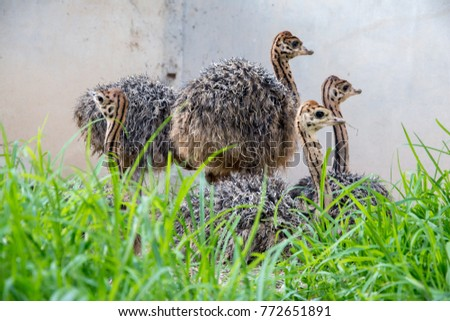 Ostrich offspring are larger than any other bird baby. #772651891