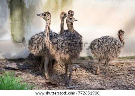 Ostrich offspring are larger than any other bird baby. #772651900