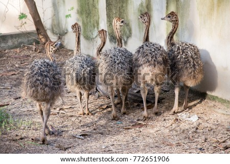 Ostrich offspring are larger than any other bird baby. #772651906